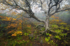 Craggy Gardens North Carolina Blue Ridge Parkway Autumn NC. Scenic landscape photography featuring foggy conditions around an old beech tree in the fog during royalty free stock image