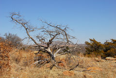 Craggy tree. From wichita mountains stock image