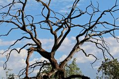Craggy Tree. A craggy tree shows against the blue sky stock images