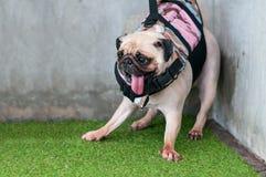 Crainte mignonne humide en gros plan de chiot de roquet de chien pour jouer l'eau au coin Photo stock