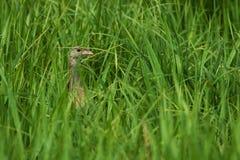 Crake de maïs jetant un coup d'oeil dans l'herbe grande Photos stock