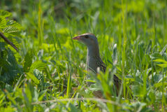 Crake in grass Stock Image