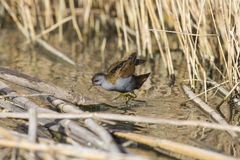 Crake in the pond Royalty Free Stock Photos