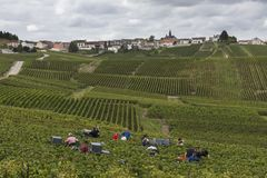 Cramant и много подборщиков Франция виноградин Стоковые Фото