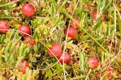 Cramberries selvagens que crescem no pântano Imagens de Stock