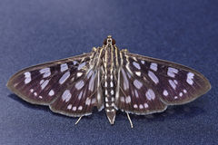 Crambit moth. Is staying on the blue metallic background Royalty Free Stock Photo