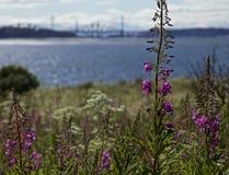 Cramondeiland, Schotland - een mening van een brug door sommige purpere bloemen stock fotografie