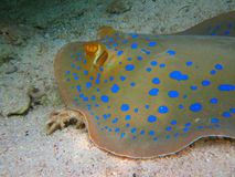 Cramp-fish Stock Image