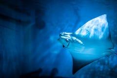 Cramp-fish in blue water. Stingray swimming. Underwater stock photography