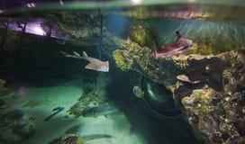 Crampe-poissons et d'autres habitants d'aquarium photo stock