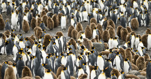 Cramped and Crowded. A close-up of a crowd of adult and young King Penguins - South Georgia stock photos