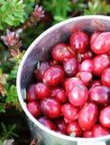 cranberries świeży właśnie kubek podnoszący bagno Obrazy Royalty Free