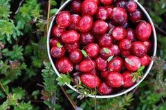 cranberries świeży właśnie kubek podnoszący bagno Obrazy Stock