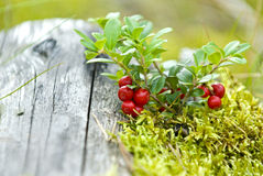 Cranberries. Little bush of cranberries in a Scandinavian forest in autumn stock photo