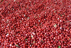 Cranberries. A lot of ripe cranberries Stock Image
