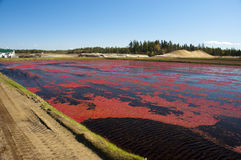 Cranberries. Floating in the flooded field Royalty Free Stock Photography