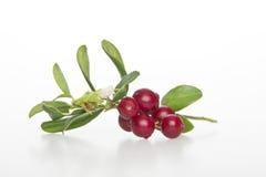 Cranberries. Stock Image