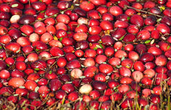 Cranberries. Being harvested in the bogs of New Jersey Stock Photo