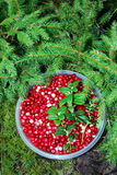 Cranberries. Still life with cranberries in the forest Royalty Free Stock Photo