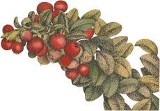 The cranberries Aquarel vector Stock Photos