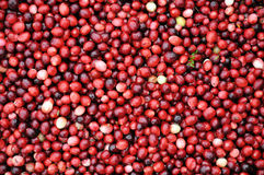 Cranberries being harvested Stock Image