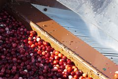 Cranberries being washed after harvesting Royalty Free Stock Images