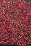 Food Grade Cranberries Floating in the Bog Stock Images