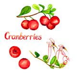 Cranberries plant with flowers and ripe berries. Cranberries branch and berries, hand painted watercolor illustration with handwritten inscription isolated on Royalty Free Stock Images