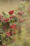 Cranberries on bush. Close up of ripe cranberries growing on bush royalty free stock photo