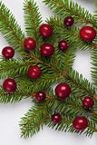 Cranberries on a Christmas tree branch. Royalty Free Stock Images