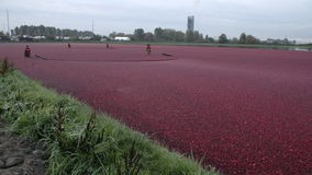 Cranberries Floated for Harvest stock footage