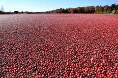 Cranberries in Flooded Cranberry Bog in New Jersey stock image