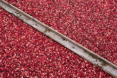 Cranberries in Flooded Marsh with Divider Royalty Free Stock Image