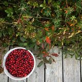 Cranberries. Fresh-picked cranberries in a bucket Royalty Free Stock Photos