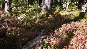 Cranberries grow in a Sunny forest.  stock video footage