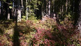 Cranberries grow in a Sunny forest.  stock footage