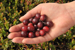 Cranberries in hand Royalty Free Stock Images