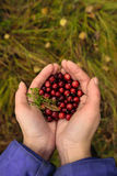 Cranberries in hands Stock Photography