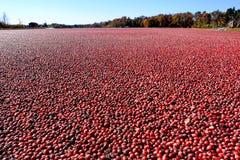 Cranberries i översvämmad Cranberrymyr i New Jersey Fotografering för Bildbyråer