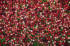 Cranberries In Flooded Marsh - Closeup