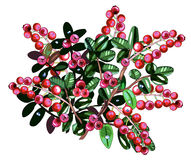 Cranberries isolated. Lingonberry twigs with dew drops Royalty Free Stock Photo