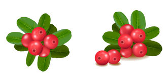 Cranberries with leaves. Vector. Royalty Free Stock Photos
