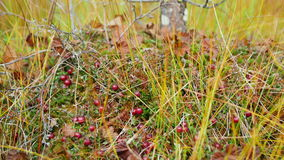 Cranberries on moss in the forest. Nature stock footage