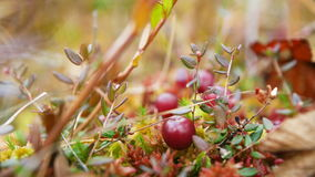 Cranberries on moss in the forest. Nature stock video