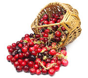 Cranberries and moss near the basket Royalty Free Stock Photos
