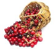 Cranberries och moss nära korgen Royaltyfria Foton