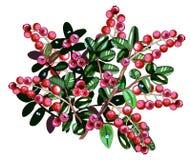 Cranberries odizolowywający Zdjęcie Royalty Free