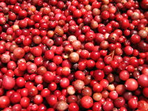Cranberries pattern Royalty Free Stock Image