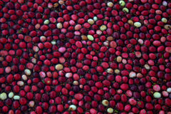 Cranberries. This is a picture of cranberries floating on the water in their bog waiting to be harvested.  The farmers fill the bogs with water and then use Stock Image