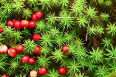 Cranberries red berries Royalty Free Stock Images